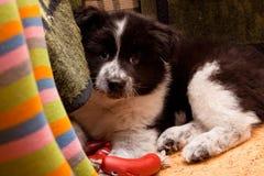 Het puppy van Samoed Stock Foto's