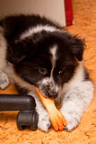 Het puppy van Samoed Royalty-vrije Stock Afbeeldingen