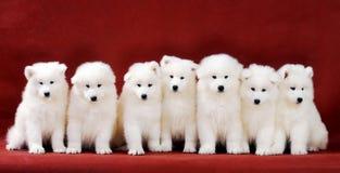 Het puppy van Samoyed Stock Afbeeldingen