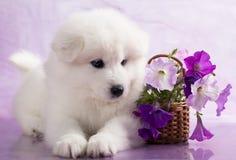 Het puppy van Samoyed stock foto