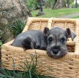 Het puppy van Schnauzer in een mand Stock Fotografie
