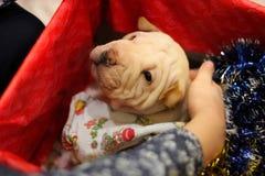 Het puppy van Sharpei als aanwezige Kerstmis stock foto's