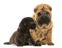 Het puppy van Sharpei en de Zwarte zitting van de Luipaardwelp naast elkaar Royalty-vrije Stock Fotografie