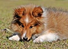 Het Puppy van Sheltie stock fotografie