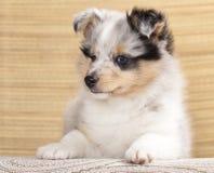 Het puppy van Sheltie stock foto