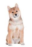 Het puppy van Shibainu op witte achtergrond Stock Afbeelding