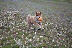 Het puppy van Shibainu 10 weken oude zo leuk Stock Afbeeldingen