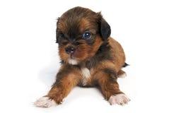 Het Puppy van Shisu in geïsoleerdr Stock Afbeeldingen
