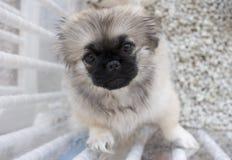 Het puppy van Shitzu Royalty-vrije Stock Afbeeldingen