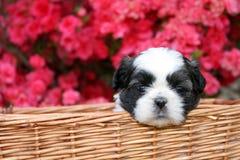 Het Puppy van Tzu van Shih Stock Afbeeldingen