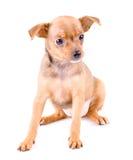 Het puppy van ?ute Stock Afbeeldingen