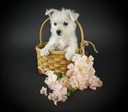 Het Puppy van Westie Royalty-vrije Stock Fotografie