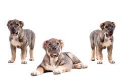 Het puppy van Yong 3 maanden leeftijds. royalty-vrije stock foto's