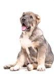 Het puppy van Yong 3 maanden leeftijds. stock afbeelding