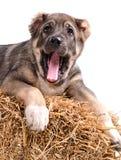 Het puppy van Yong 3 maanden leeftijds op stro. stock afbeeldingen