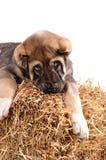 Het puppy van Yong 3 maanden leeftijds op stro. stock afbeelding
