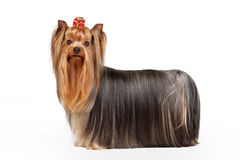 Het puppy van Yorkie Stock Fotografie