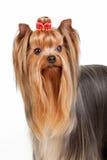 Het puppy van Yorkie Stock Foto