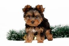 Het puppy van Yorkie Stock Foto's