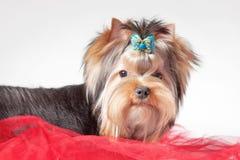 Het puppy van Yorkie op rode kleren Royalty-vrije Stock Afbeeldingen