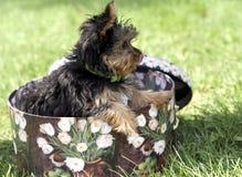 Het puppy van Yorkshire in een doos royalty-vrije stock afbeeldingen