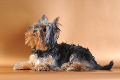 Het puppy van Yorkshire op de gouden achtergrond Stock Foto