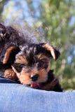 Het puppy van Yorkshire in wapens wordt gevangen dat royalty-vrije stock afbeeldingen