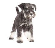 Het puppy van Zwergschnauzer Stock Foto's