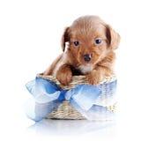 Het puppy in a wattled mand met een blauwe boog. Stock Fotografie