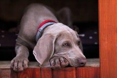 Het puppy Weimaraner van het hondportret stock fotografie