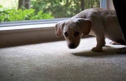 Het puppy wil buiten Stock Foto's