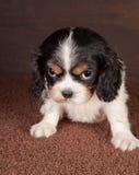 Het puppy ziet eruit Royalty-vrije Stock Foto