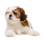 Het puppy ziet eruit Royalty-vrije Stock Afbeelding