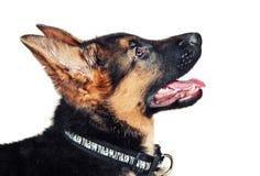 Het puppyclose-up van de Duitse herder stock afbeeldingen