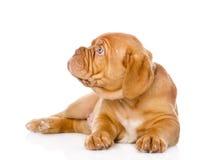 Het puppyhond die van Bordeaux aan de linkerzijde kijken Geïsoleerd op wit Stock Foto