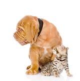 Het puppyhond van Bordeaux en het katje die van Bengalen weg eruit zien Geïsoleerde Stock Afbeelding