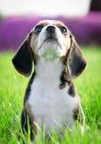 Het puppyhond van de brak royalty-vrije stock fotografie