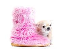 Het puppyhond van de Chihuahuababy in studiokwaliteit Stock Afbeeldingen