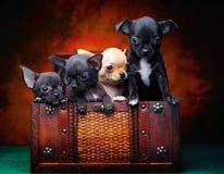 Het puppyhond van de Chihuahuababy in studiokwaliteit Stock Foto's