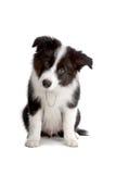 Het puppyhond van de Collie van de grens Royalty-vrije Stock Foto's