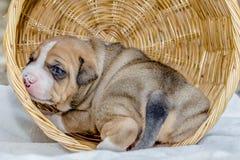 Het puppyhond van de kuilstier stock afbeeldingen