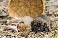 Het puppyhond van de kuilstier royalty-vrije stock afbeeldingen