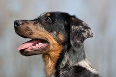 Het puppyhoofd van Beauceron van profiel stock afbeelding