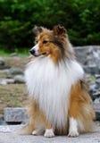 Het puppyplaatsing van de collie Royalty-vrije Stock Afbeelding