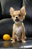 Het puppyportret van Chihuahua met citroen Stock Fotografie