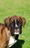 Het puppyportret van de bokser Stock Foto's