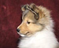 Het puppyportret van Sheltie Stock Foto's