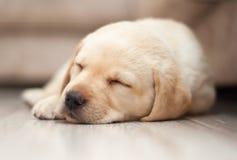 Het Puppyslaap van Labrador Royalty-vrije Stock Foto's