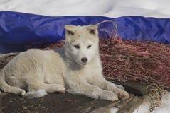 Het puppywesten Siberische Laika stock afbeeldingen