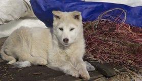 Het puppywesten Siberische Laika royalty-vrije stock afbeelding